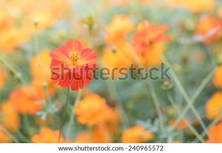 cosmos flower field for background
