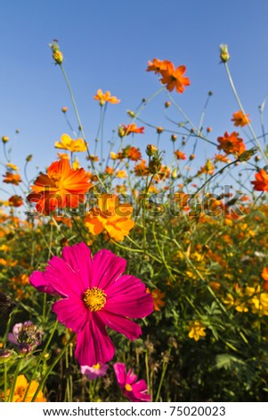 Cosmos flower garden  and blue sky