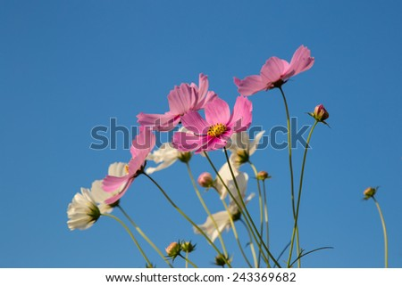 Cosmos flower in blue sky background  - stock photo