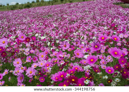Cosmos flower in field, Colorful garden in Japan - stock photo