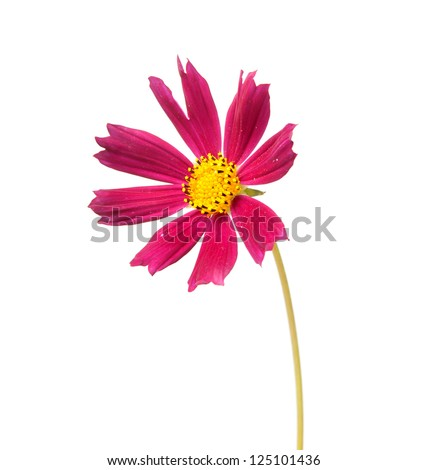 Cosmos, flower isolted on white - stock photo