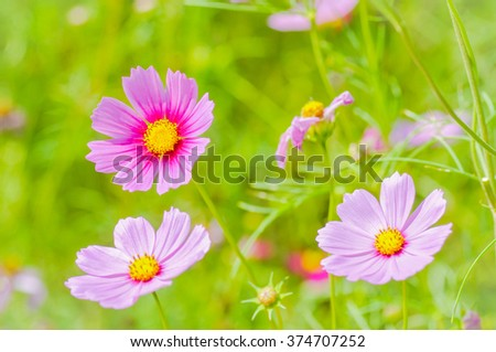 cosmos flower or Mexican aster flower in the garden - stock photo