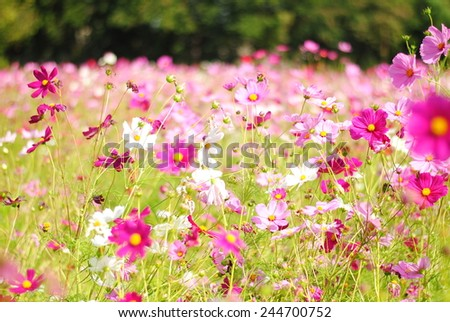 cosmos flowers color background wall wallpaper nature texture pink green pattern - stock photo