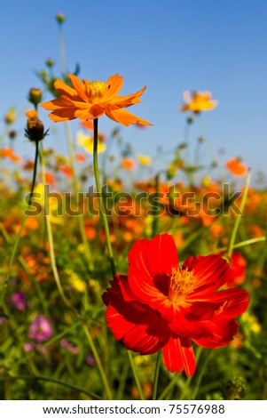 Cosmos flowers garden and blue sky - stock photo