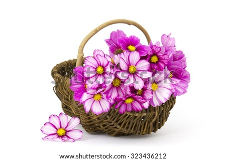 cosmos flowers in a basket on white background - stock photo