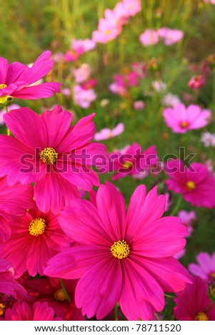 Cosmos flowers in bloom - stock photo