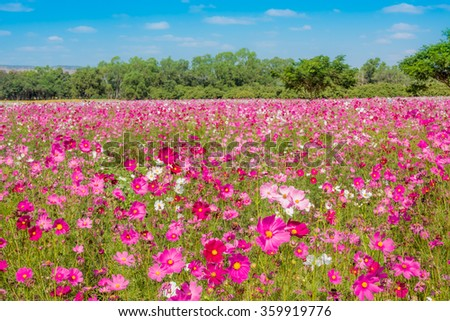 Cosmos flowers in blooming garden - stock photo