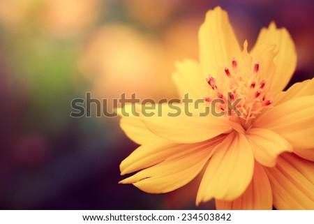 Cosmos Flowers,macro close up - stock photo