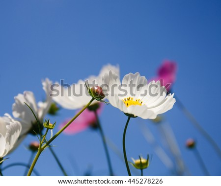 Cosmos flowers on a background of blue sky. - stock photo