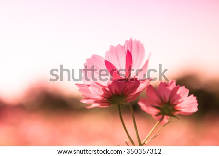 Cosmos Flowers on sunset background - stock photo