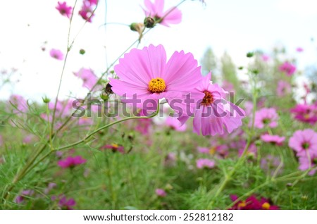 cosmos flowers pink wall background green nature garden color blooming petal beautiful - stock photo