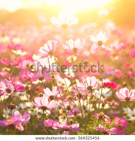 Cosmos flowers under sunlight in the field - stock photo