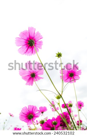 Cosmos flowers up to the sky - stock photo