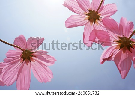 cosmos flowers (vintage tone) - stock photo