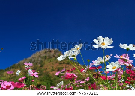 Cosmos flowers with blue sky