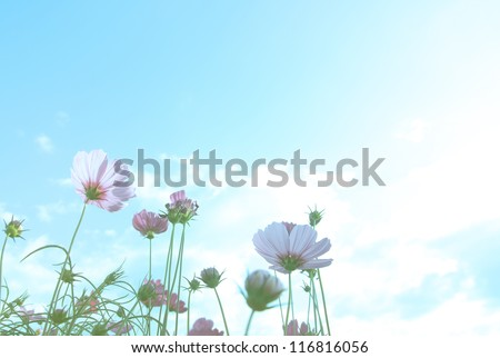 cosmos flowers with blue sky, pastel style - stock photo