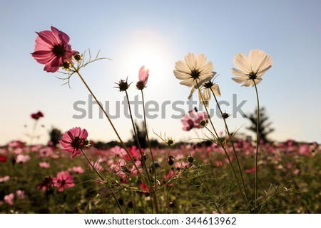 Cosmos Flowers with sunlight - stock photo