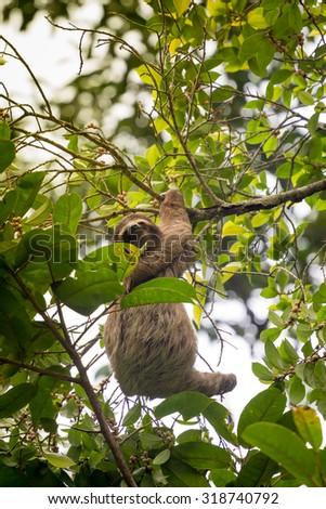 Costa Rica, Three toed sloth in Cahuita National Park - stock photo