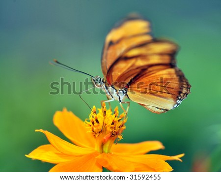 costa rican monarch butterfly on yellow orange sunflower in tropical garden, macro close up full frame - stock photo
