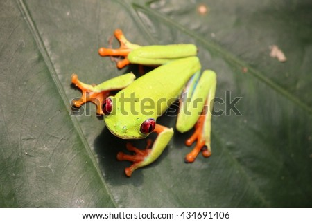 Costa Rican red tree frog