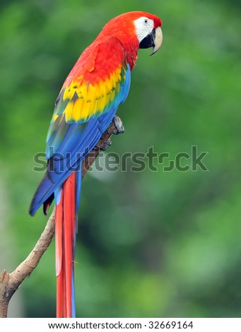 costa rican scarlet macaw, corcovado nat park, central america, colorful parrot bird - stock photo