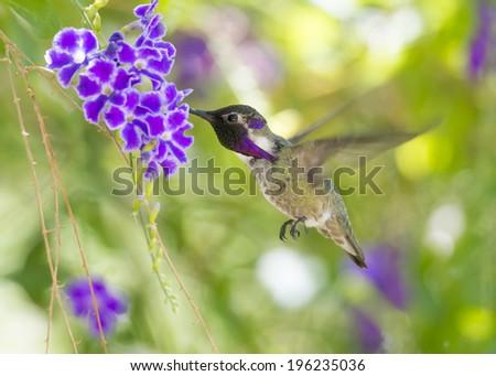 Costa's Hummingbird in flight at a purple flower. - stock photo