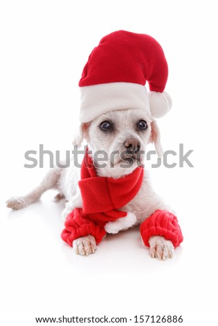 Cosy dog wearing a scarf leg warmers and a santa claus hat for Christmas   White background.
