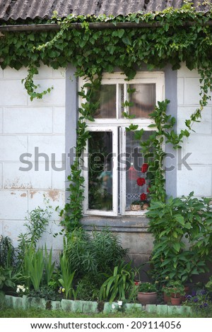 Cottage wall with window covered with green climbing fig  - stock photo