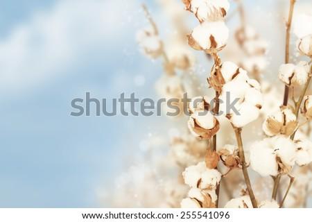 Cotton background. - stock photo