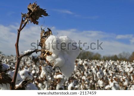 Cotton boll in cotton field - stock photo