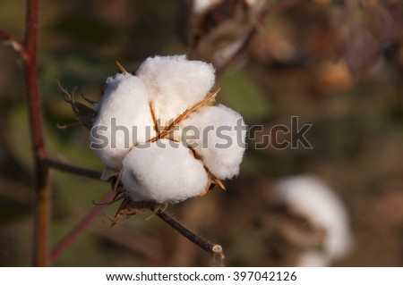 Cotton Bolls on the Plant