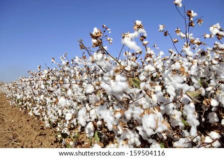 cotton field flower - stock photo