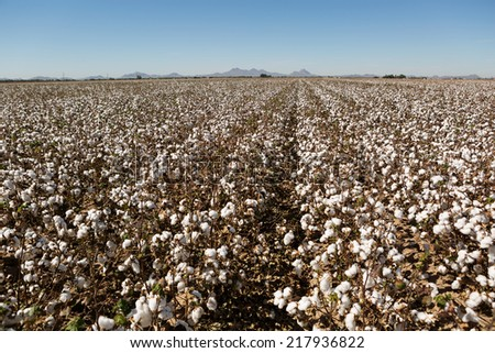 cotton field on the plains ready to harvest - stock photo