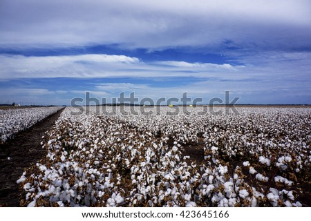 Cotton Fields Ready For Harvesting in Australia - stock photo