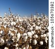 Cotton fields white with ripe cotton ready for harvesting - stock photo