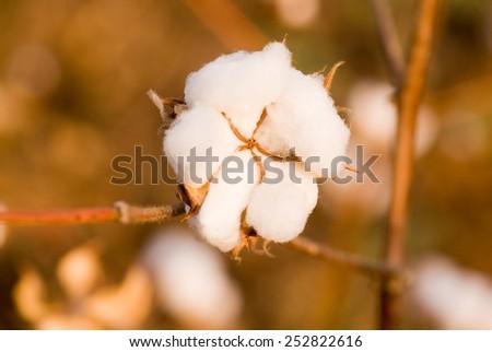 Cotton flower Close-up Maharashtra, India - stock photo