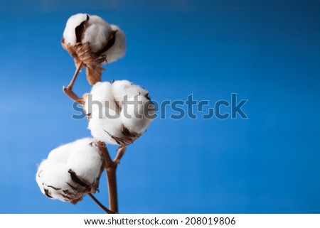 Cotton flower close up on blue background - stock photo