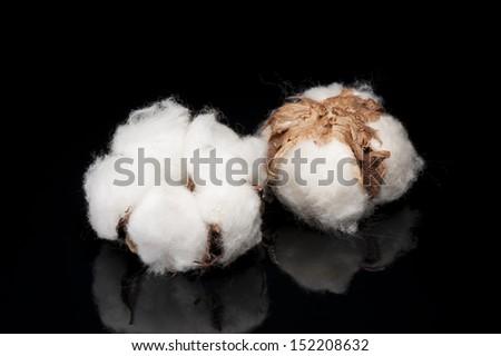 cotton flower on black background - stock photo
