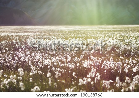 Cotton grass field with white flowers and mountains on a background in a sunset light, Iceland - stock photo