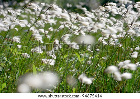 Cotton grass in the wind - stock photo