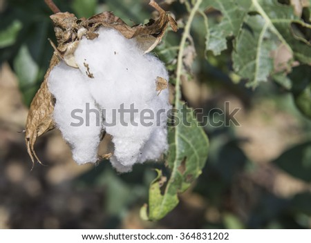 cotton in the field in thailand  - stock photo
