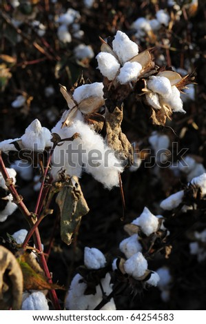 Cotton in the field, Southern San Joaquin Valley, California, ready to harvest - stock photo