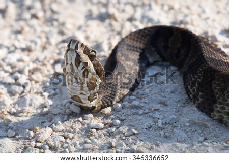 Cotton Mouth Water Moccasin
