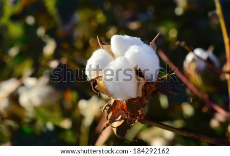 Cotton on a field ready to harvest in the soft sunset light - stock photo