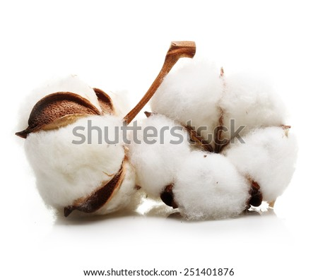 Cotton plant flower isolated on white background - stock photo