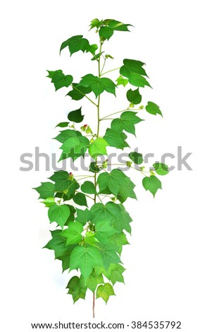 cotton plant isolated in white background - stock photo