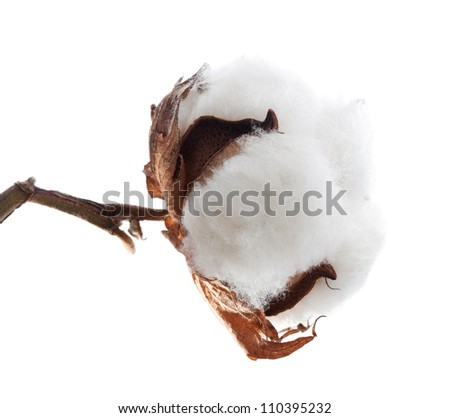 Cotton plant over white background - stock photo