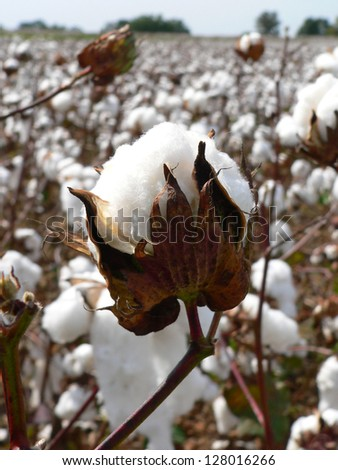 Cotton ripens in the fall in the southern United States. - stock photo