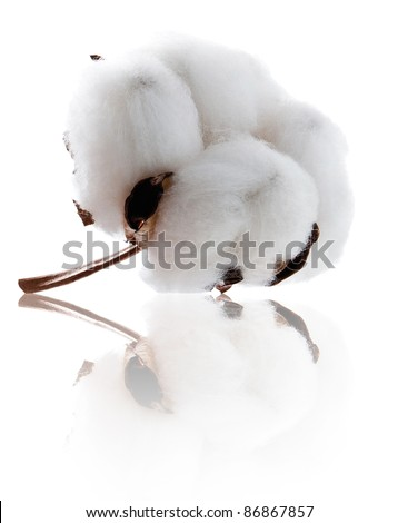 Cotton soft plant with reflection - stock photo