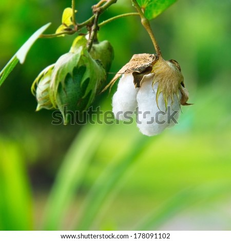 Cotton tree - stock photo